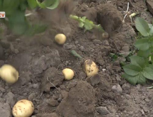 Guldklumper – årets allerførste frilandskartofler