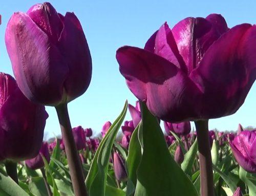 Tulipanmarken ved Fole