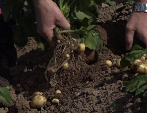 Kartofler, kartofler – og kartofler