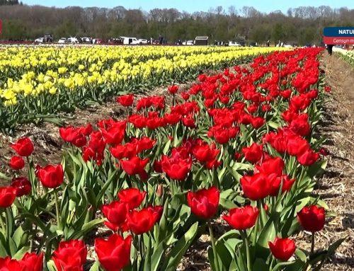 Gensyn med… Tulipanmarken ved Fole