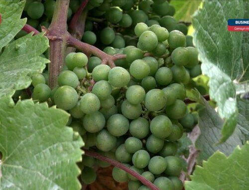 Gensyn med… God vin forudsætter en god drue